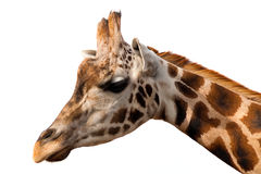 Giraffe portrait over white Stock Photos