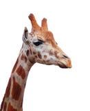Giraffe portrait Royalty Free Stock Photo