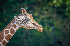 Giraffe portrait profile with nature background Royalty Free Stock Photo