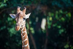 Giraffe portrait profile with nature background Stock Photo