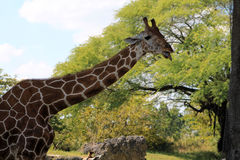 Giraffe portrait Royalty Free Stock Images