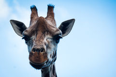 A Giraffe Portrait. A portrait of a Rothchild`s Giraffe stock photos