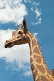 Giraffe portrait on sky background Royalty Free Stock Photography