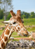 Giraffe Portrait With Tongue Out Royalty Free Stock Photography