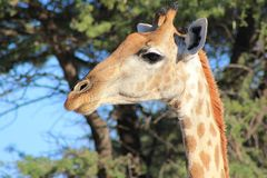 Giraffe - Portrait of unique patterns and beauty from Africa Stock Photography