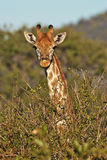 Giraffe portrait vertically. In The Kruger National Park Stock Image
