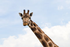 Giraffe portrait wild zoo. Close up shot. Royalty Free Stock Image
