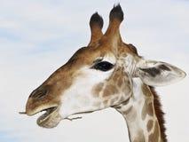 Giraffe portrait from zoo Royalty Free Stock Photos