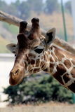 Giraffe. Portrait zoo of naples royalty free stock photography