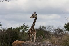 A giraffe poses for a portrait royalty free stock images