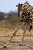 Giraffe potable Photographie stock libre de droits