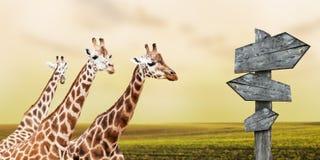 Giraffe in prateria Fotografia Stock