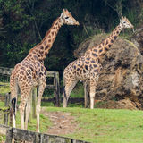Giraffe Royalty Free Stock Image