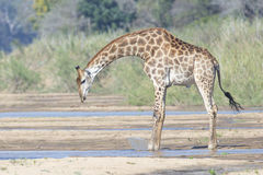 Giraffe preparing to drink from the river. Giraffe starting to kneel to drink from the river stock photos