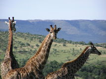 Giraffe - Private Lodge South Africa Royalty Free Stock Photography