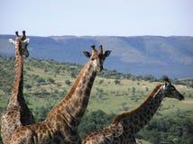 Giraffe - privates Häuschen Südafrika Lizenzfreie Stockfotografie