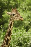 Giraffe profile Stock Image