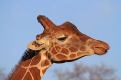 Giraffe Profile Stock Images