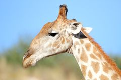 Giraffe profile Stock Photo