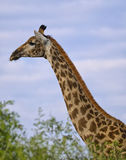 Giraffe Profile Royalty Free Stock Photo