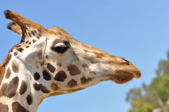 Giraffe Profile. A single giraffe profile closeup against a bright blue sky Stock Images