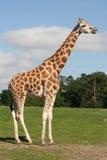 Giraffe profile Royalty Free Stock Photography