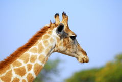 Giraffe profile royalty free stock photography