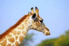 Giraffe profile. Baby giraffe close up profile Royalty Free Stock Photography