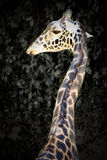 Giraffe profile Royalty Free Stock Images