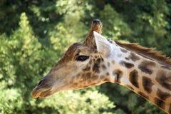 Giraffe Profile Stock Photo