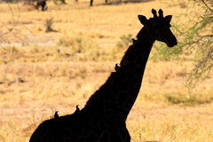 Giraffe profile Royalty Free Stock Image