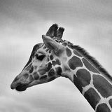 Giraffe profile in black and white Royalty Free Stock Images