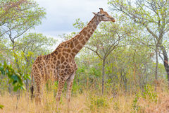 Giraffe profile in the bush, close up and portrait. Wildlife Safari in the Kruger National Park, the main travel destination in So Royalty Free Stock Images