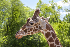 Giraffe profile closeup Stock Images