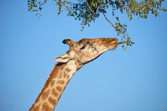 Giraffe profile head royalty free stock photography