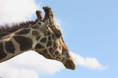 Giraffe Profile. Including neck, against blue sky with white clouds royalty free stock photo