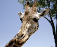 Giraffe profile looking down. A giraffe looking down in a profile angle stock photo