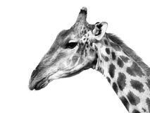 Giraffe profile portrait Royalty Free Stock Photo