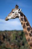 Giraffe profile. Giraffe posing profile in the forest Stock Photo