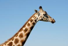Giraffe profile. Profile of a Giraffe head and neck Stock Photos