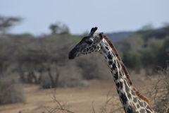 Giraffe Profile. Profile of a giraffe in the savannah Royalty Free Stock Photography