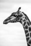 Giraffe Profile. A profile shot of a giraffe Stock Images