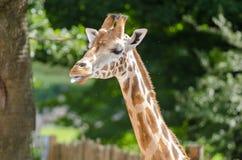Giraffe. A giraffe in profile in sulight Stock Images