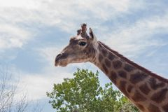 The giraffe is a proud and beautiful animal with a long neck stock image