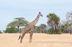Giraffe prowling around in the savannah - national park selous game reserve in tanzania Royalty Free Stock Image