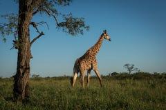 Giraffe que anda no arbusto Imagem de Stock Royalty Free