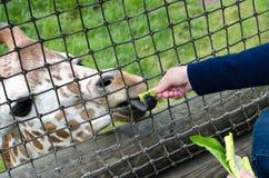 giraffe que come a alface Imagem de Stock