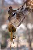 Giraffe que come a grama seca Imagens de Stock Royalty Free