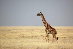 Giraffe que cruza as planícies de Serengeti, Tanzânia Imagem de Stock Royalty Free