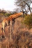 Giraffe que dobra-se para a frente Foto de Stock Royalty Free